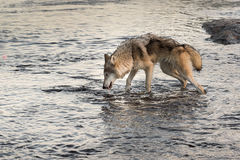 Grey Wolf (Canis lupus) Takes a Drink Royalty Free Stock Images