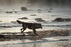 Grey Wolf & x28;Canis lupus& x29; Trots Right in River Stock Photos