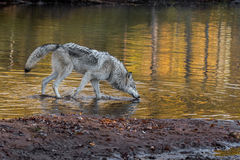 Grey Wolf (Canis lupus) Wades into Water Royalty Free Stock Photos