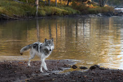 Grey Wolf (Canis lupus) Walks Forward Royalty Free Stock Photography