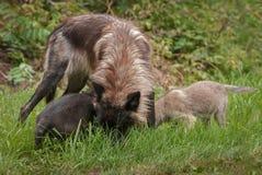 Grey Wolf & x28; Lupus& x29 do Canis; e cabeças dos filhotes de cachorro na grama Imagem de Stock