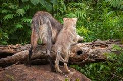 Grey Wolf & x28; Lupus& x29 do Canis; e olhar do filhote de cachorro sobre o log Fotografia de Stock Royalty Free