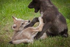 Grey Wolf & x28; Lupus& x29 do Canis; O filhote de cachorro morde a pata do irmão Foto de Stock