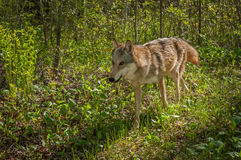 Grey Wolf y x28; Lupus& x29 del Canis; Funcionamientos a través del cepillo Imagen de archivo
