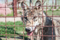 Grey wolf with yellow eyes Royalty Free Stock Photos