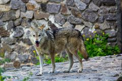 Grey wolf in the zoo. Big Grey wolf in the zoo looking for something Royalty Free Stock Photo
