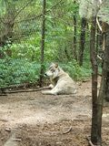 Grey Wolf at the Zoo stock photos