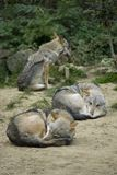 Grey wolfs. Gray wolfs relaxing but still alert to his surroundings Stock Photography