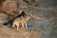 Grey Wolfs fighting Stock Images