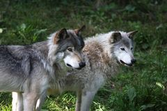 Grey wolves Stock Photography
