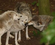 Grey Wolves. A pack of Grey Wolves greeting the alpha Royalty Free Stock Images