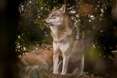 Wolf Grey Canis lupus Black and WHite side profile royalty free stock photos