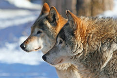 Grey wolves (canis lupus). Profile portrait of Grey wolves (canis lupus stock images