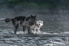 Grey Wolves Canis-Lupus Blick heraus vom Fluss Stockbilder