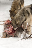 Grey Wolves Canis lupus Feed on Body of White-Tail Deer Stock Photos