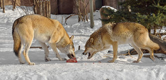 Grey wolves Canis lupus. Fight for food. In winter stock photos
