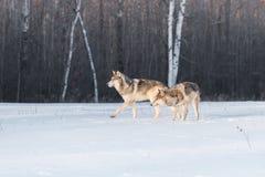 Grey Wolves Canis lupus går vänstert Arkivfoton