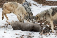 Grey Wolves Canis lupus Gather at White-Tail Deer Carcass. Captive animals royalty free stock photography