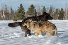Grey Wolves Canis lupus Jump Around in Field Winter stock photography