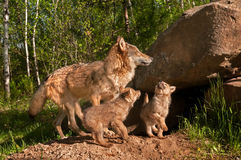 Grey Wolves (Canis lupus) Jump About Outside Den Stock Photos