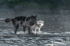 Grey Wolves (Canis lupus) Look Out From River. Captive animals stock images