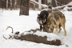Grey Wolves Canis lupus Looks Up Over Wolf at Deer Carcass royalty free stock photo