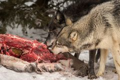 Grey Wolves Canis lupus Pull Meat From Deer Carcass stock photography