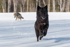 Free Grey Wolves Canis Lupus Run In In Snowy Field Winter Royalty Free Stock Photo - 160138765