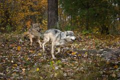 Grey Wolves Canis lupus Run Right Lead With Meat stock photo