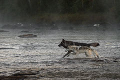 Grey Wolves (Canis lupus) Run in River Royalty Free Stock Photo