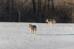 Grey Wolves Canis lupus in Snowy Field stock photos