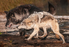 Grey Wolves Canis lupus som körs ut ur floden arkivbilder