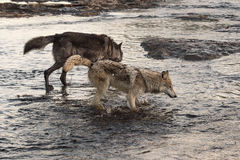 Grey Wolves Canis lupus Splash Right Through River Royalty Free Stock Image