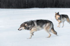 Grey Wolves Canis lupus Stalk Left Through Field Stock Photos