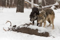 Grey Wolves Canis lupus Stand Over White-Tail Buck Carcass royalty free stock photography