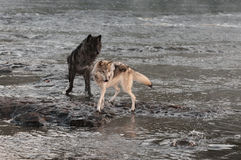 Grey Wolves (Canis lupus) Turn to Look at Splash Stock Photography