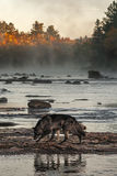 Grey Wolves Canis lupus Walk Left Across River Rocks Royalty Free Stock Images
