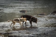 Grey Wolves Canis-wolfszweer in Rivier royalty-vrije stock fotografie