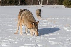 Grey Wolves Canis-wolfszweersnuifje in de Gebiedswinter royalty-vrije stock afbeeldingen