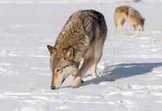 Grey Wolves Canis-wolfszweersnuifje vastbesloten in de Gebiedswinter stock foto's