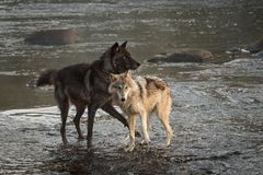 Grey Wolves Canis-wolfszweertribune in Rivier stock afbeeldingen
