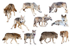 Grey wolves. Isolated  over white Stock Photography
