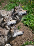 Grey wolves pack looking up. For food in the woods Royalty Free Stock Image