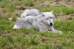 Grey Wolves Royalty Free Stock Photography