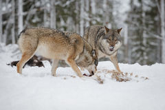 Grey wolves Stock Images