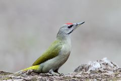 Grey woodpecker close up portrait. Royalty Free Stock Image