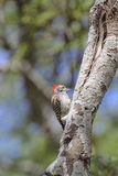 Grey Woodpecker tapping a branch Stock Photography