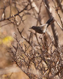 The Grey Wren Warbler Stock Photos