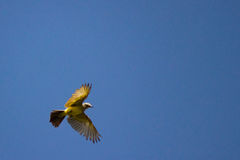 Grey and yellow bird overhead Royalty Free Stock Images
