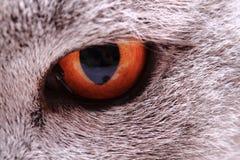 grey yellow eye from british cat stock photos